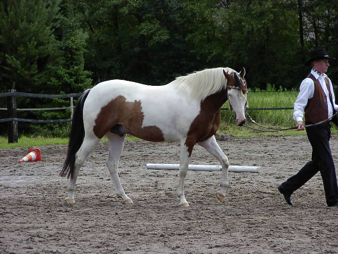 Red roan paint horse 2003 red roan overo stallion